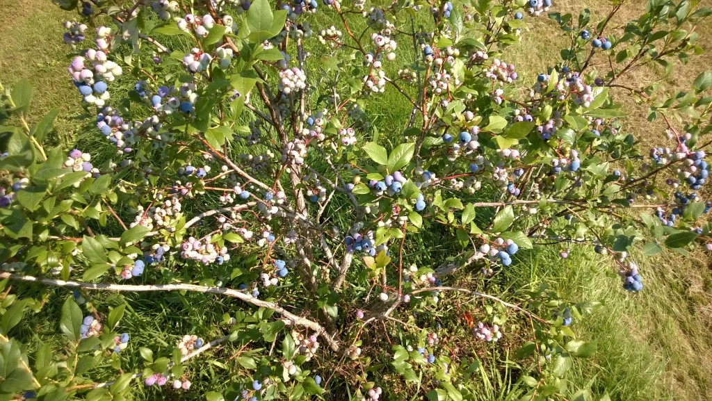 It took a few years, but the blueberries are finally producing more than we can eat.  We won't get sick FROM them, we might get sick OF them.